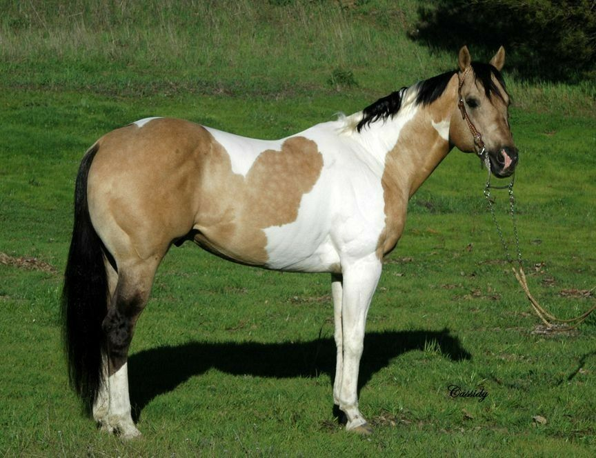 Pin On Equine Paint Pinto And Appaloosa