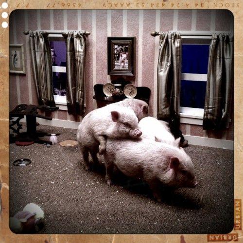 Pig cam Cam the