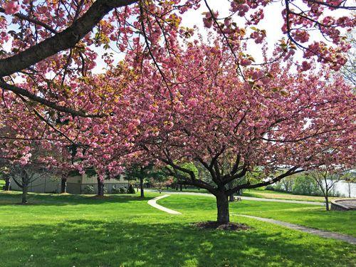 Pink Flowering Trees Pink Flowering Trees Flowering Trees Landscape Trees