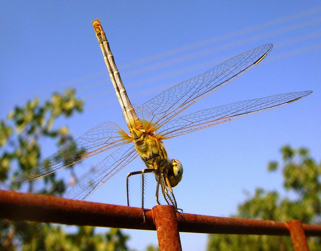Dragonfly on a balance beam!