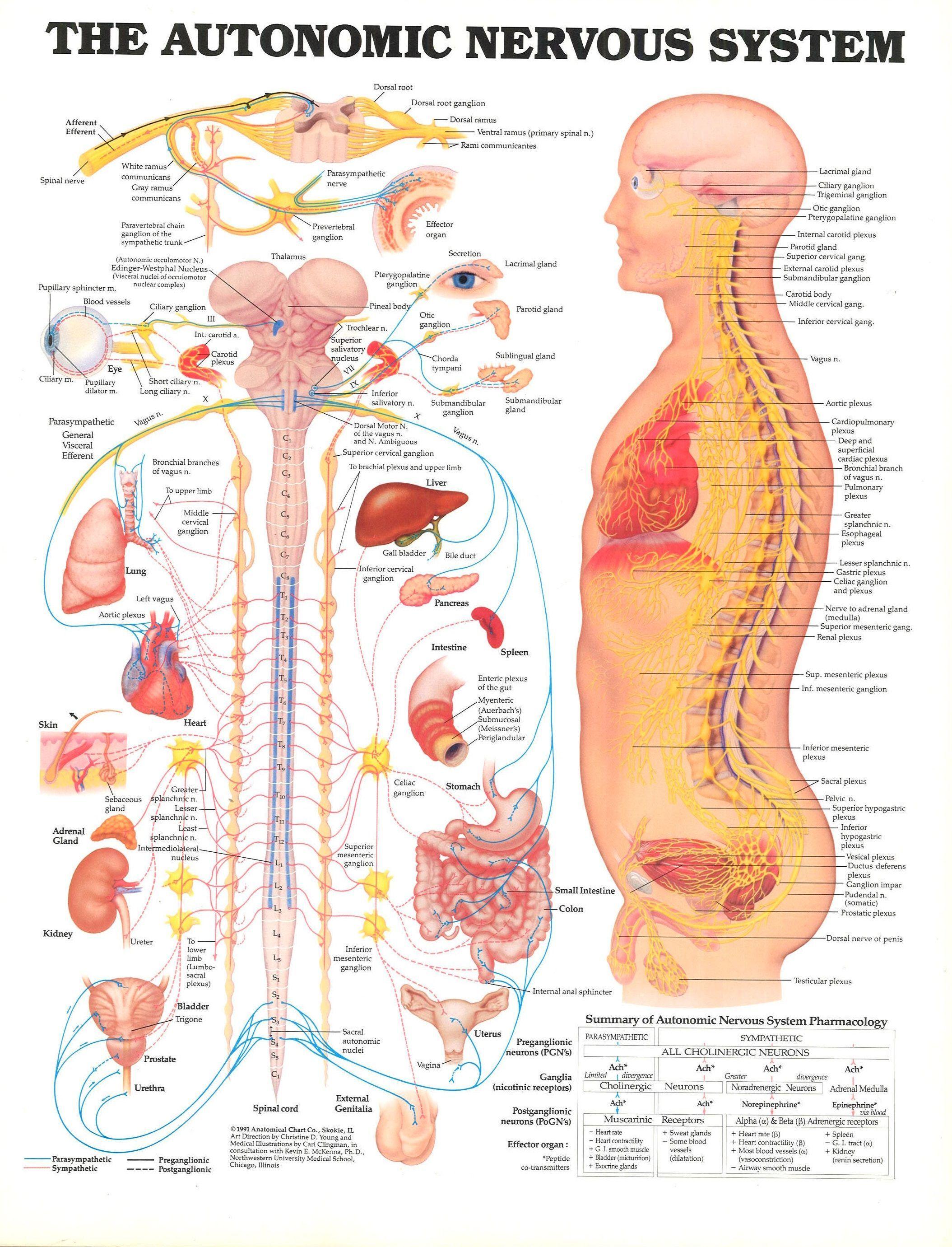 medium resolution of nervous system anatomy nervous system anatomy the autonomic nervous system the autonomic nervous system