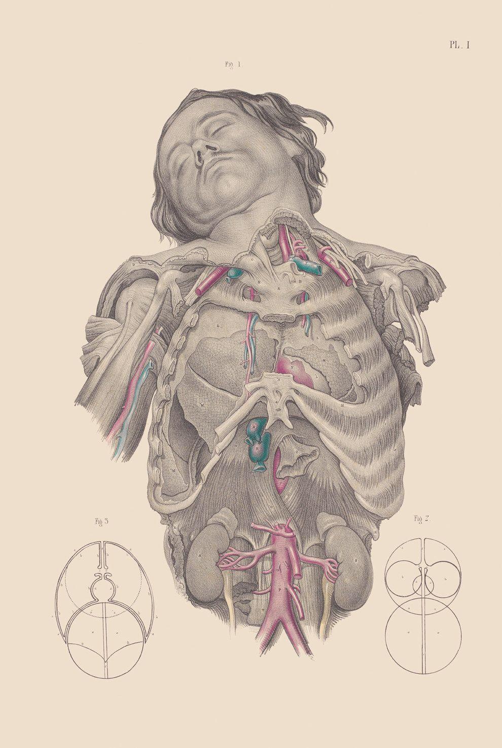 Lujoso Ilustraciones De Anatomía Victorian Cresta - Anatomía de Las ...