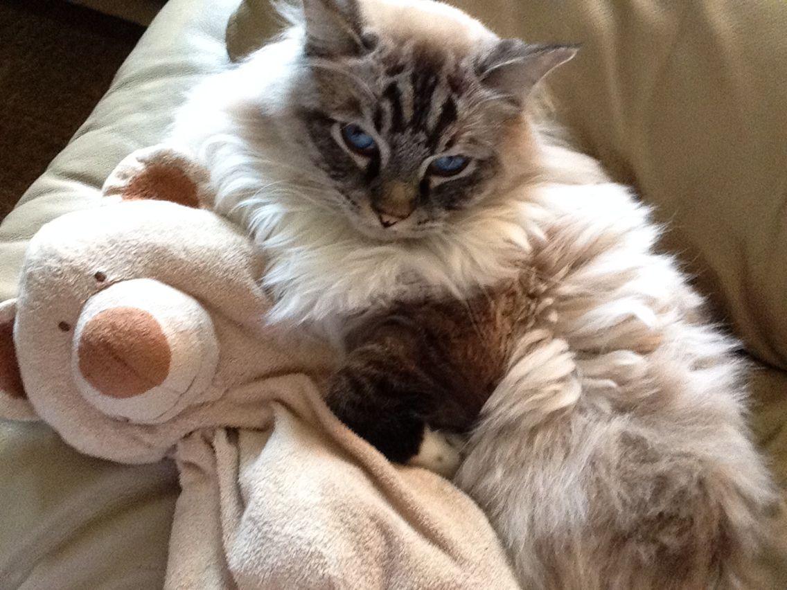 My rag doll kitty cuddles with my stuffed animal. #CUTE