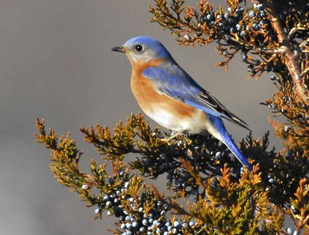 Bluebird Comeback On Shelter Island Relies On Volunteers Blue Bird Backyard Birds Shelter Island