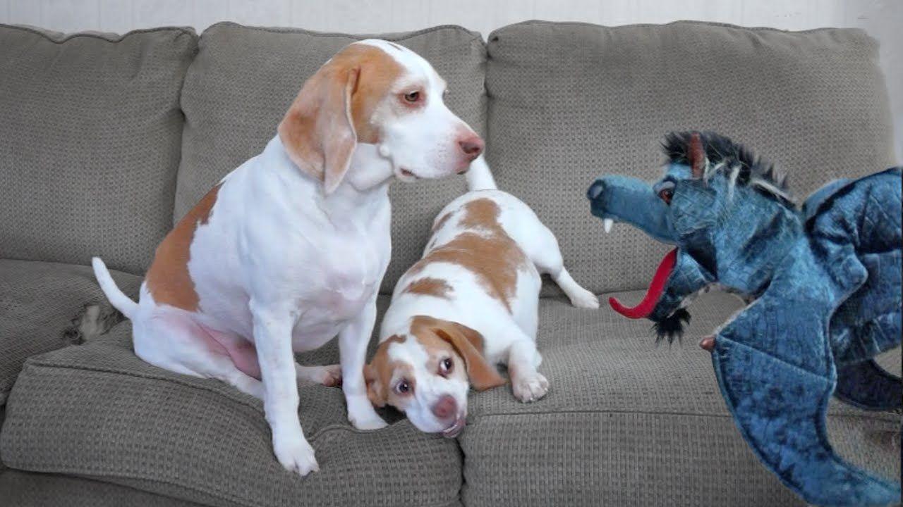 Good Video Beagle Adorable Dog - fc5465327b87c59ddbdf217b61137e9f  You Should Have_52137  .jpg