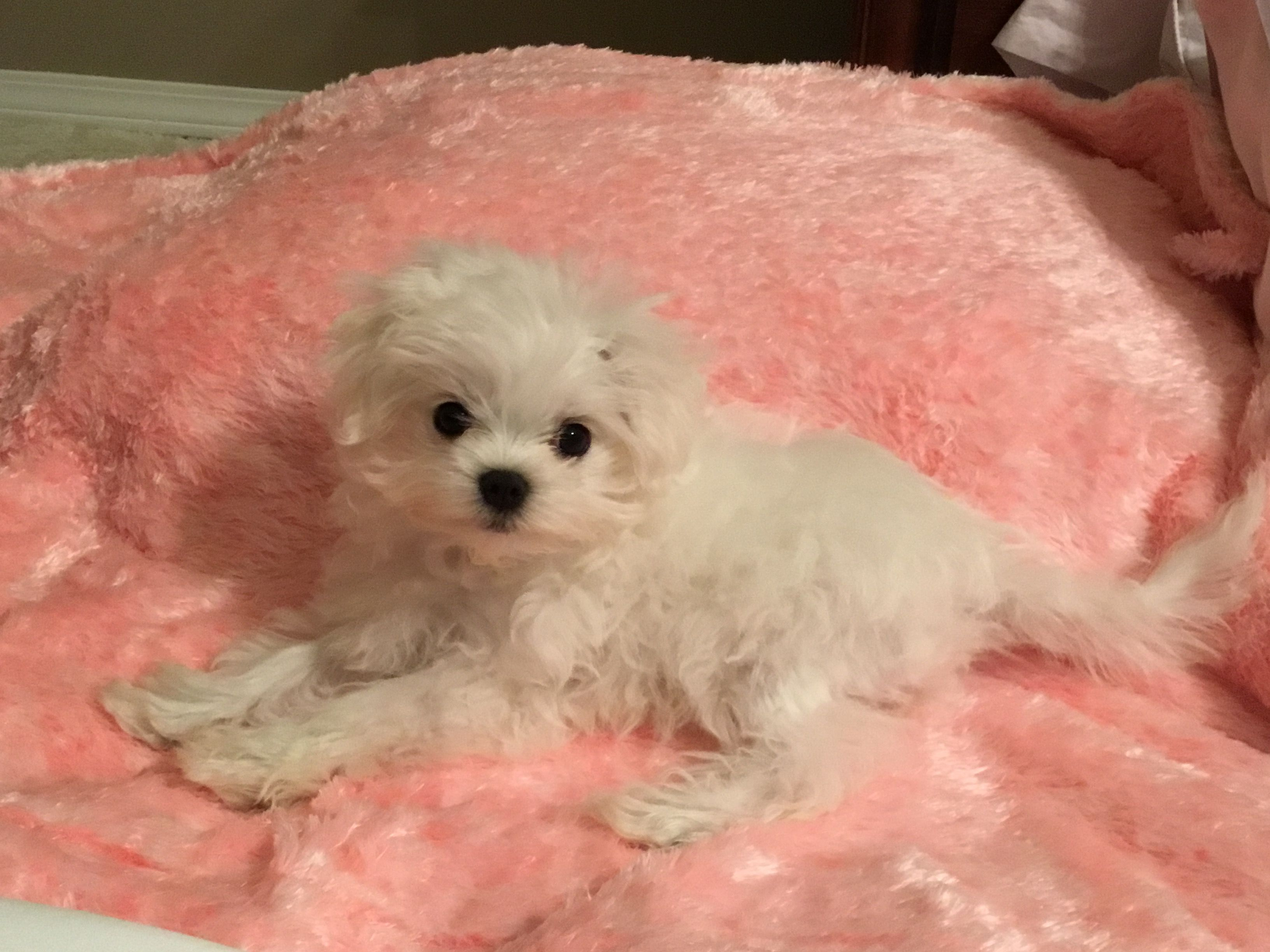 Pin by debbie on puppies teacup puppies maltese maltese