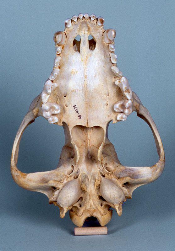 african hunting dog skull