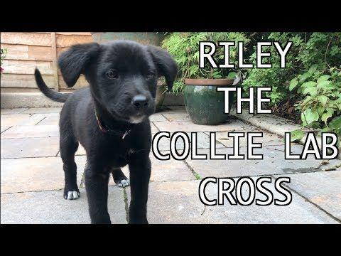Labrador X Golden Retriever Puppies Riley The Collie X Labrador