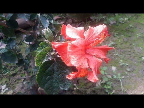 How To Grow Hibiscus Guhal From Cuttings Hindi Hollyhock