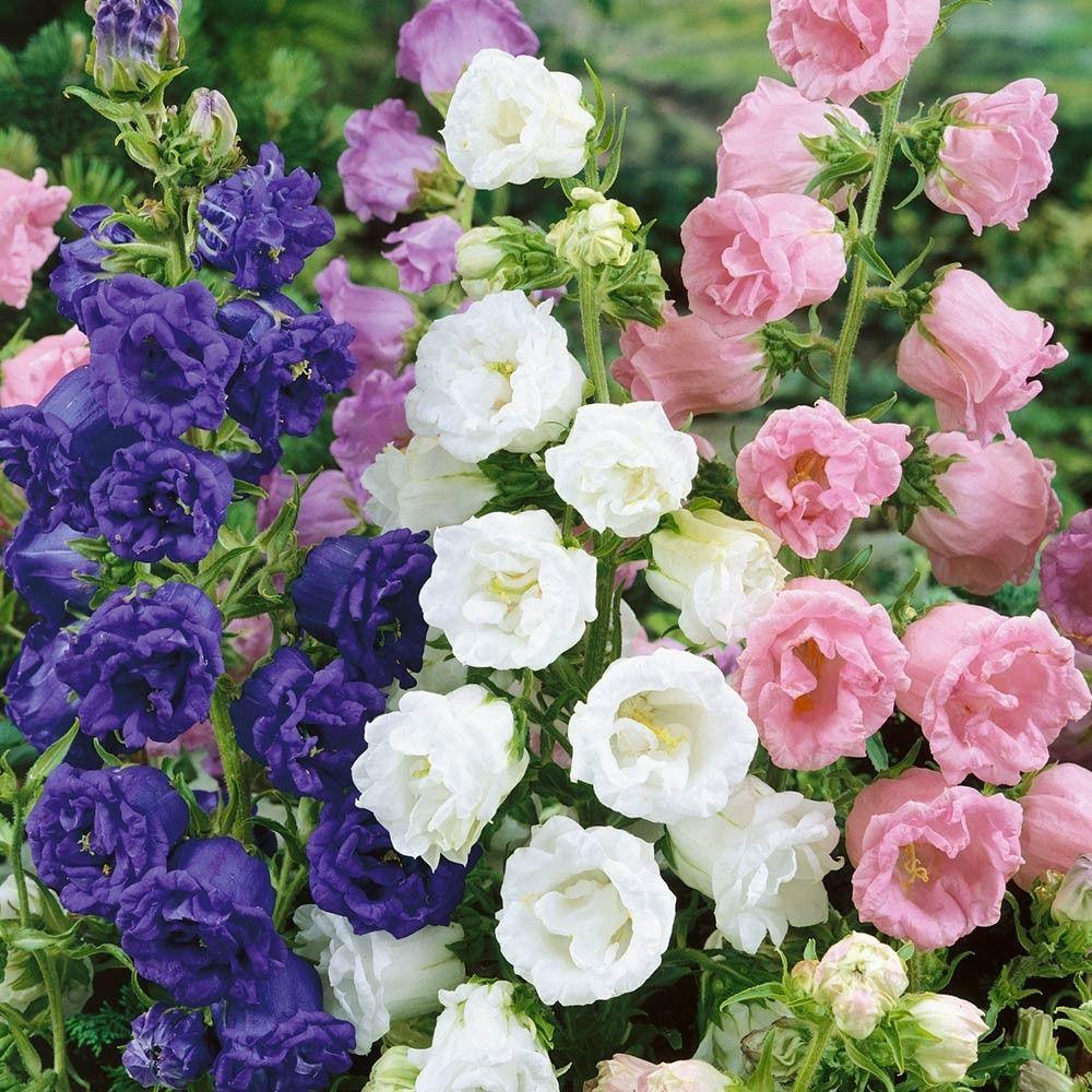 Campanula Medium Double Collection Perennials A C Perennials By