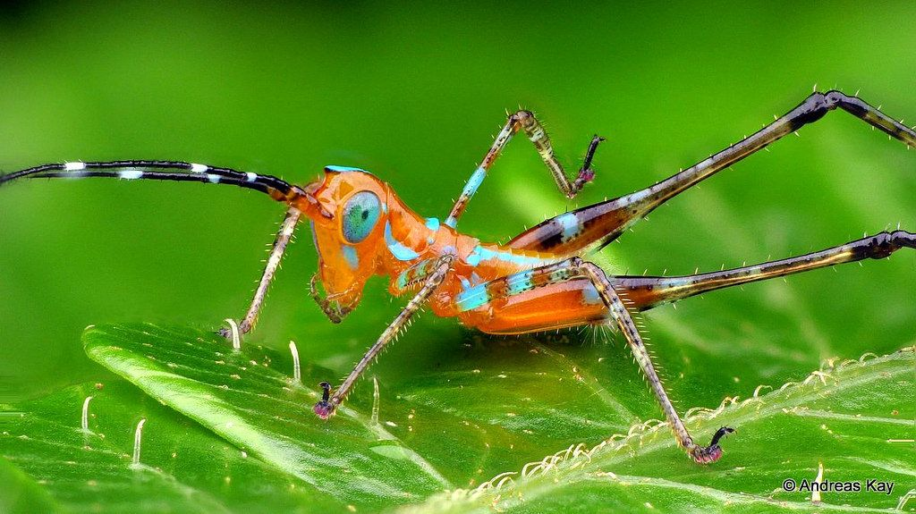 Colorful Katydid nymph Bugs, insects, Nymph, Animals