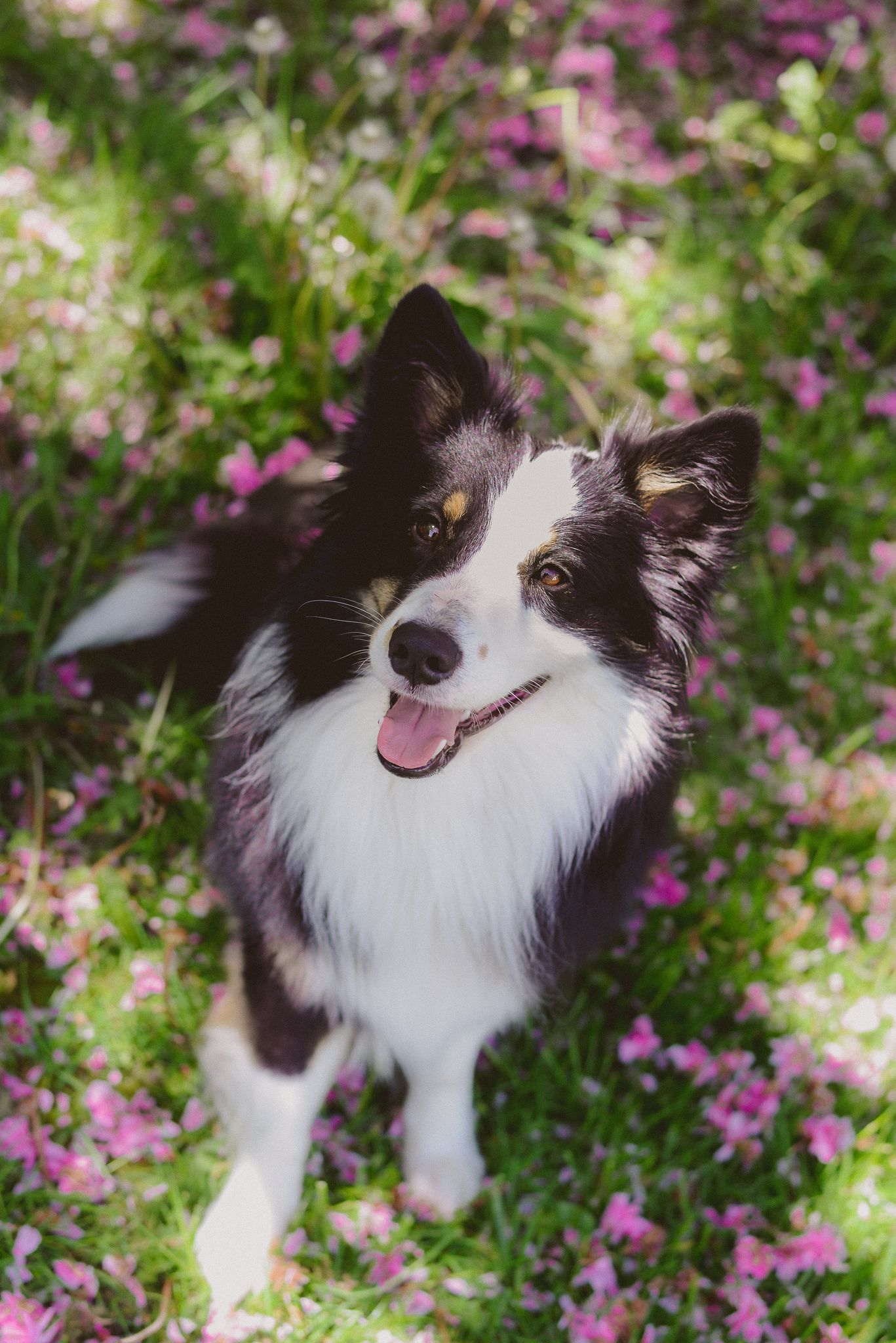 Moz In Spring Collie Dog Dogs Border Collie
