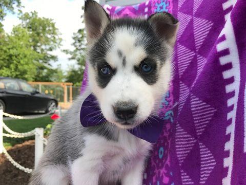 Siberian Husky Puppy For Sale In Ephrata Pa Adn 32743 On