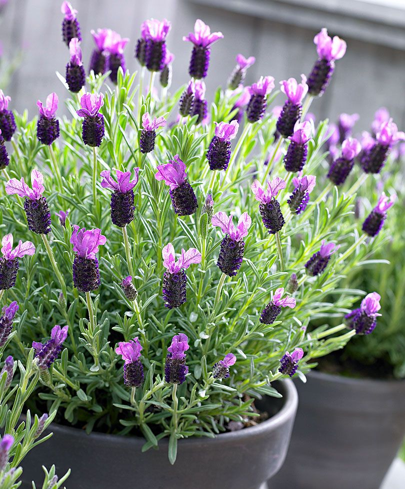 french papillon lavender specials from spalding bulb flowers pots vases window boxes. Black Bedroom Furniture Sets. Home Design Ideas