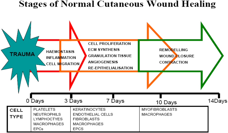 wound healing stages Google Search Wound healing