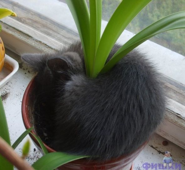 Cats that sleep anywhere...  I hope this isn't Iris planting instructions to line your pot with cat fur...