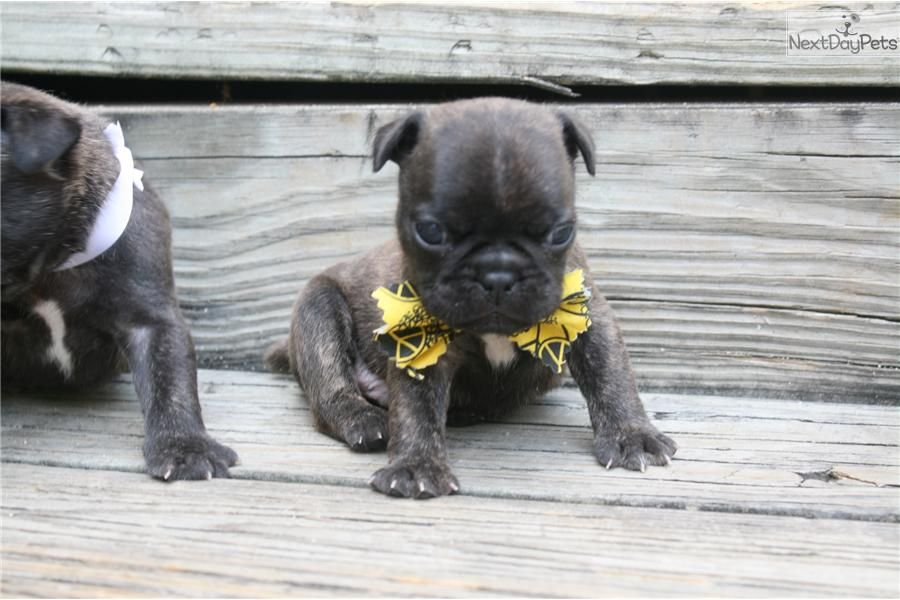 Meet Vinnie A Cute French Bulldog Puppy For Sale For 800 Vinnie