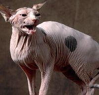 Sphynx Cat The Sphynx Is Part Monkey Part Dog Part Child And Part Cat Cat Breeds Creepy Cat Sphynx