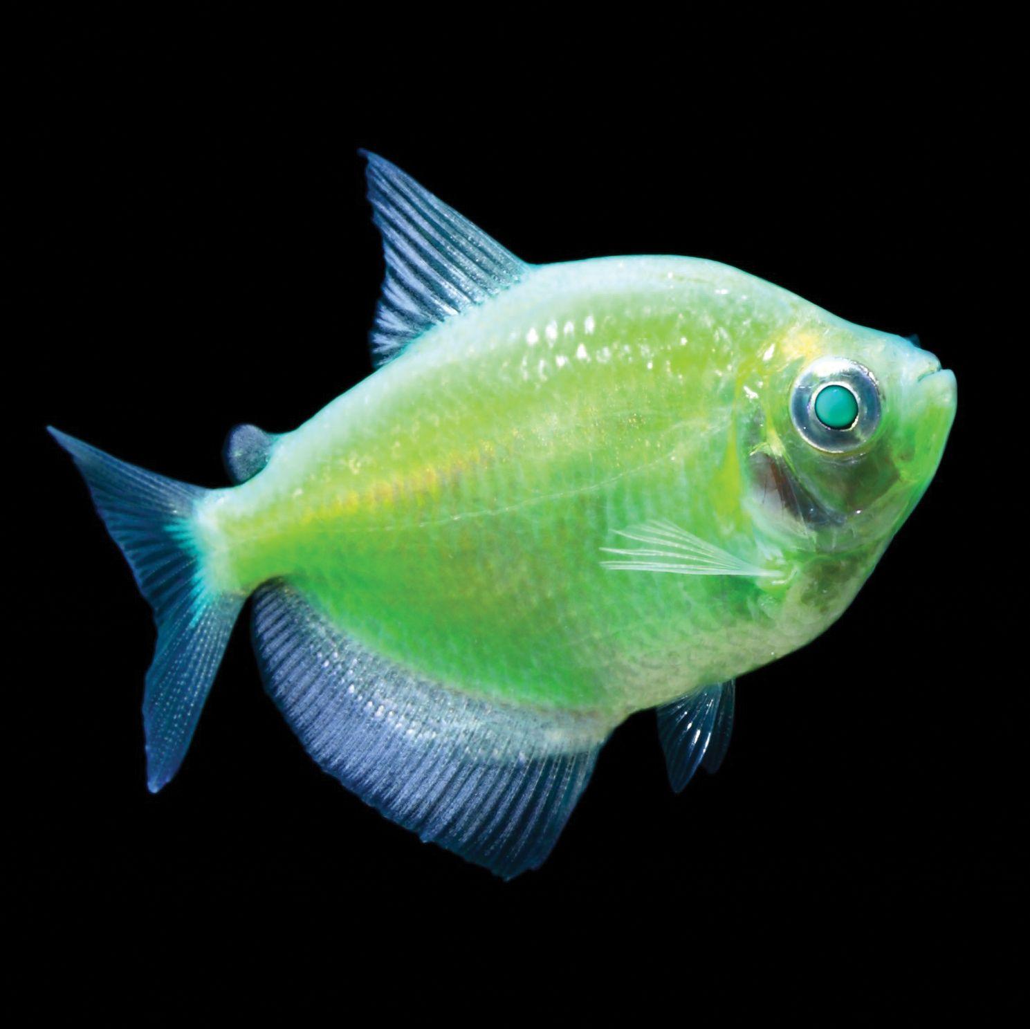 Glofish Electric Green Tetra Glofish Aquarium Fish Glow Fish