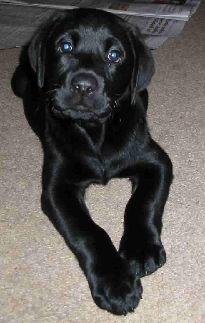 Black Lab Google Images Labrador Retriever Puppies Lab Puppies Labrador Retriever
