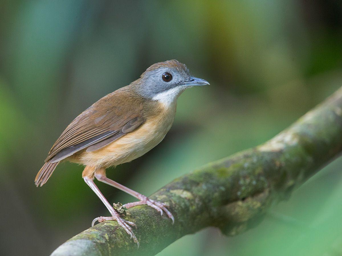 7796. Short-tailed Babbler (Malacocincla malaccensis) |  Malaysia, Singapore, Thailand, Sumatra, Borneo