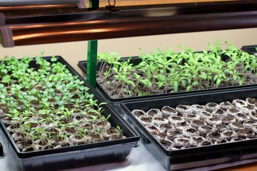 How to Start Seeds Using Grow Lights  One Hundred Dollars a Month  How to Start Seeds Using Grow Lights  One Hundred Dollars a Month