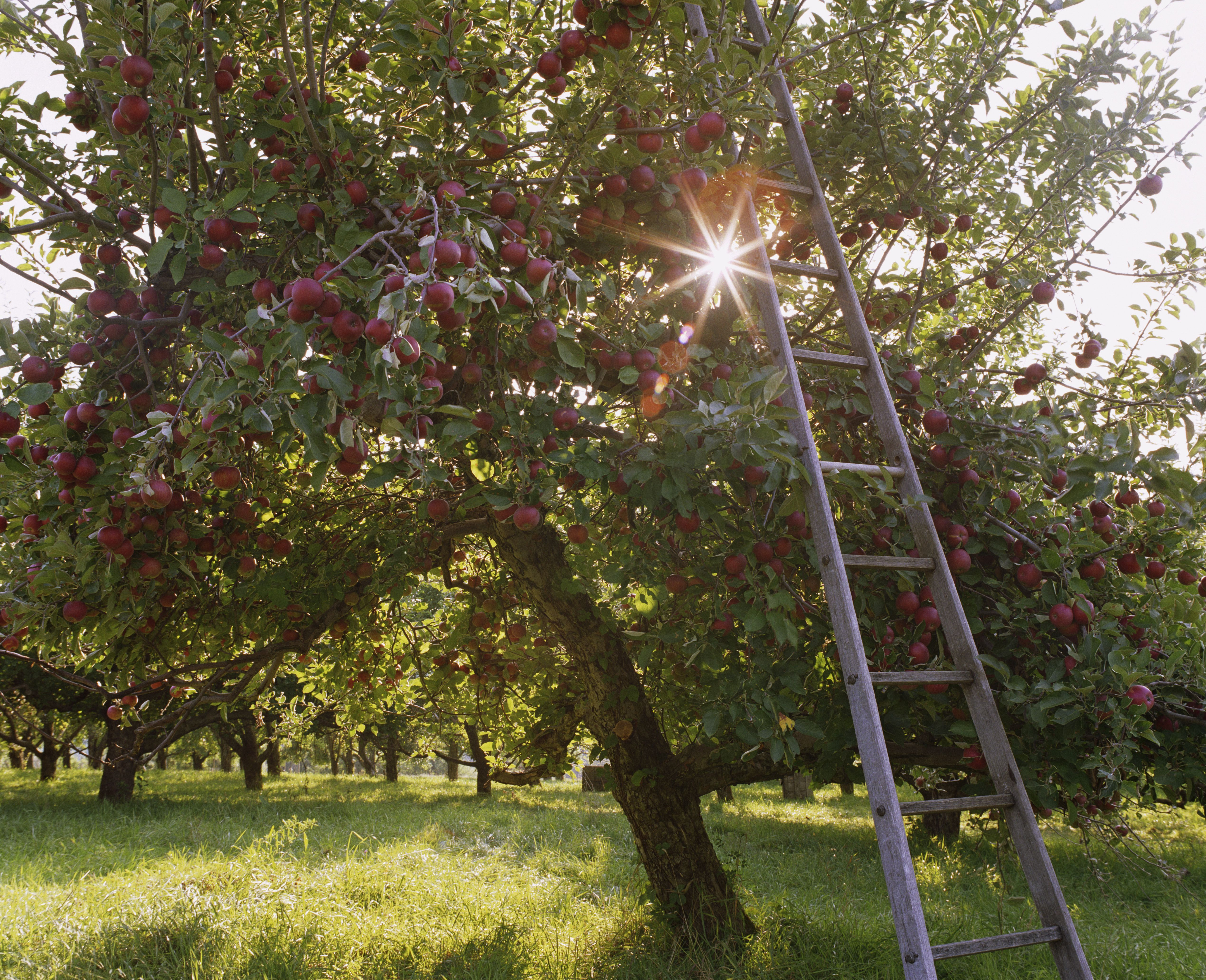 Prune Your Overgrown Apple Tree To Boost Its Vigor Apple Tree Farm Apple Tree Care Pruning Apple Trees
