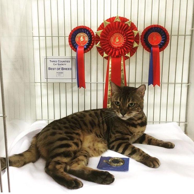 Imperial Grand Champion Nevaeh Everso Pretty Bella Bengal Cat