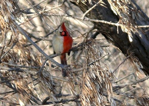 Gynandromorph Cardinal. This bird is part male and part female.