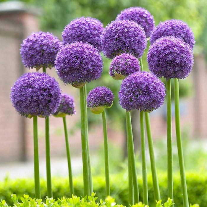 Allium Gladiator Yeasrofallium Bulbchat Garden Giveaway Allium Flowers Planting Flowers Plants