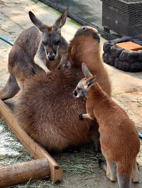 超レア画像公開 カンガルーが カピバラにマッサージ行為 神戸 カピバラ 野生動物 珍しい動物