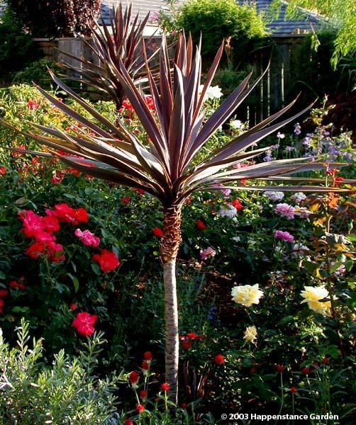 Plantfiles Pictures Cabbage Palm Cabbage Tree Ti Kouka Torbay Palm Dracaena Spike Red Star Cordyline Australis By Hap Backyard Plan Palm Garden Torbay