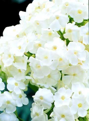 David phlox fragrant white flowering perennial one clump in the david phlox fragrant white flowering perennial one clump in the side yard near the deck mightylinksfo