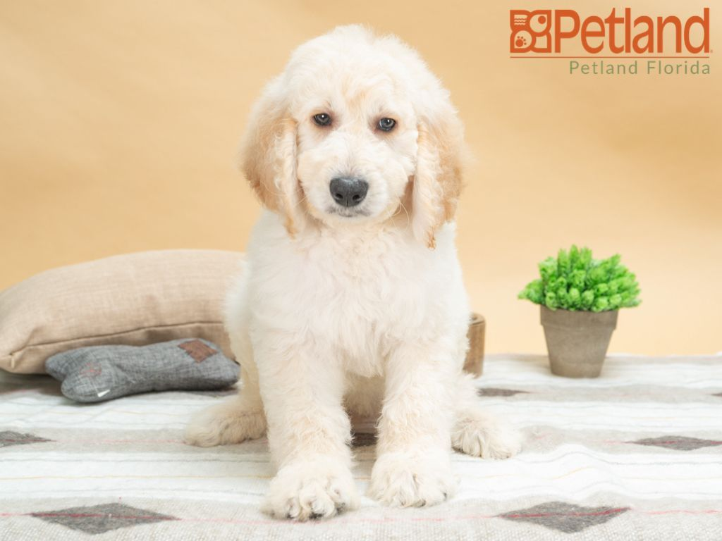 Puppies For Sale Puppy Friends Puppies Goldendoodle