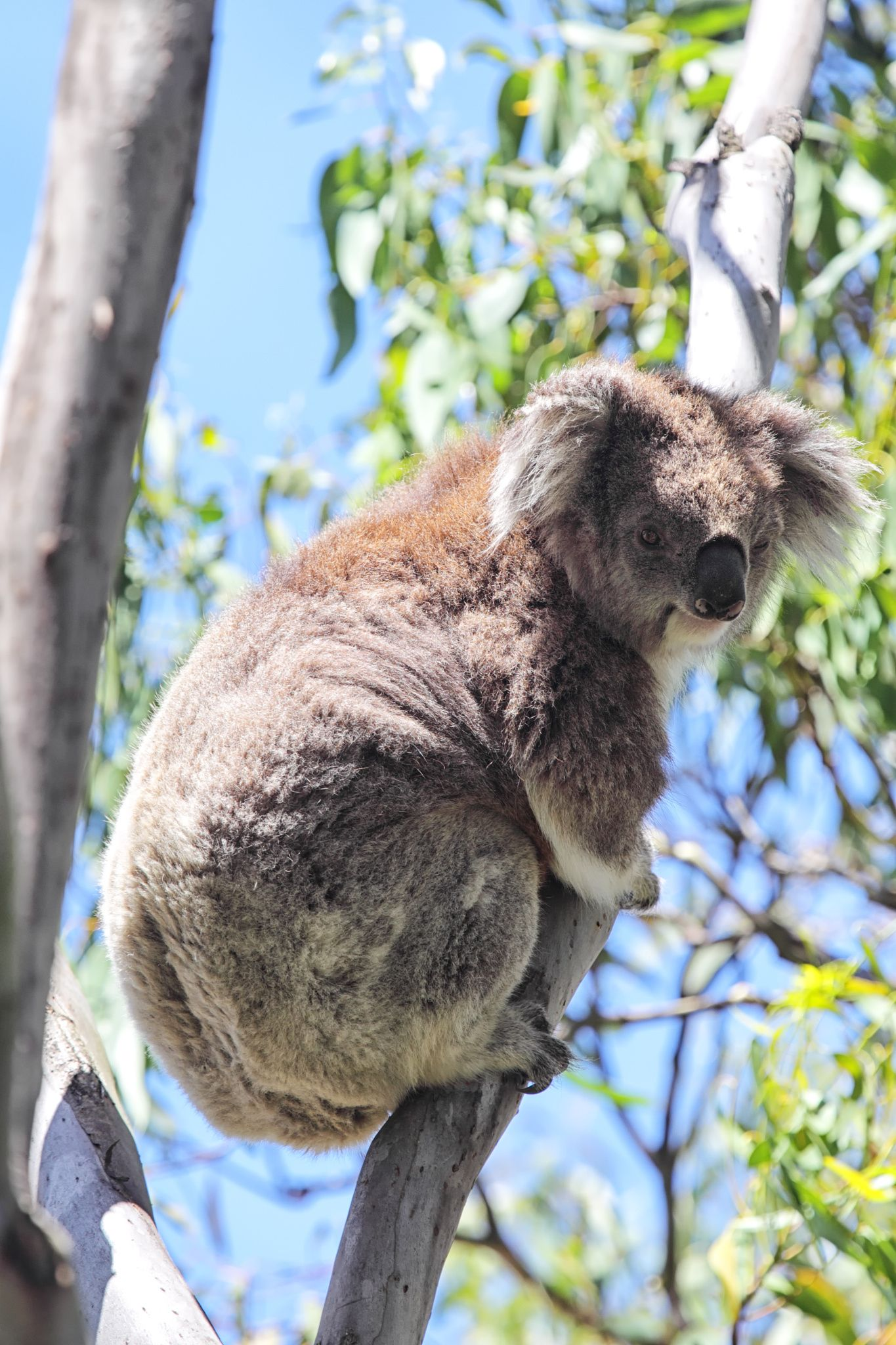 Koala (Phascolarctos cinereus) climbing on a eukalypt tree on Raymond Island in Lake King, Victoria, Australia.