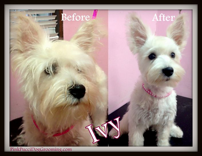 Ivy The Miniature Schnauzer Terrier Mix Before After Dog Grooming