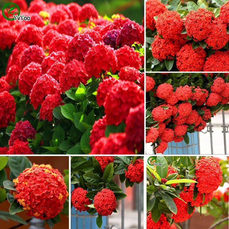 hydrangea semillas hydrangea viburnum semilla home garden bonsai planta de flores mixtas unids h