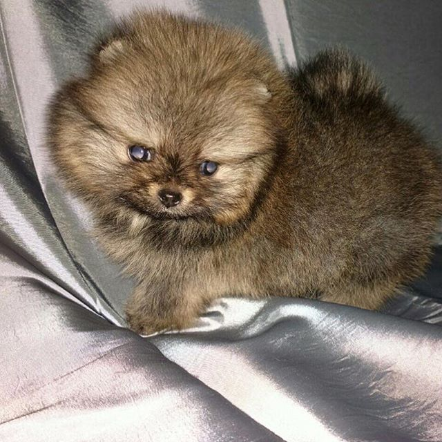 Pomeranian Puppies For Sale Get Pics And Price On Https Spitzpomeranian Co Uk Pomeranian Puppy For Sale Pomeranian Puppy Pomeranian
