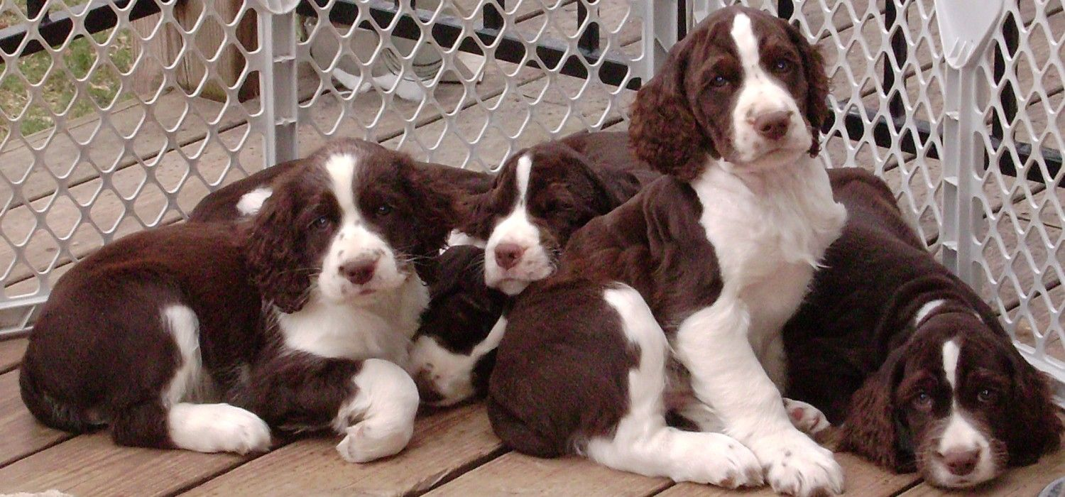 Piper's Springers English Springer Spaniels コッカースパニエル