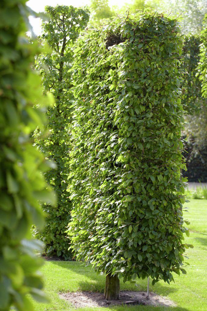 Die deutsche Hecke Auch perfekt für langanhaltende Nachbarstreits - garten pflanzen sichtschutz