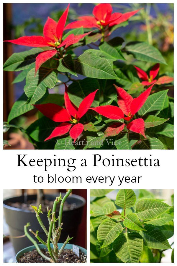 Learn how to you can have a poinsettia rebloom every year. Instead of throwing it out after the holidays, keep it as a houseplant. #houseplants #indoorgardening #poinsettia
