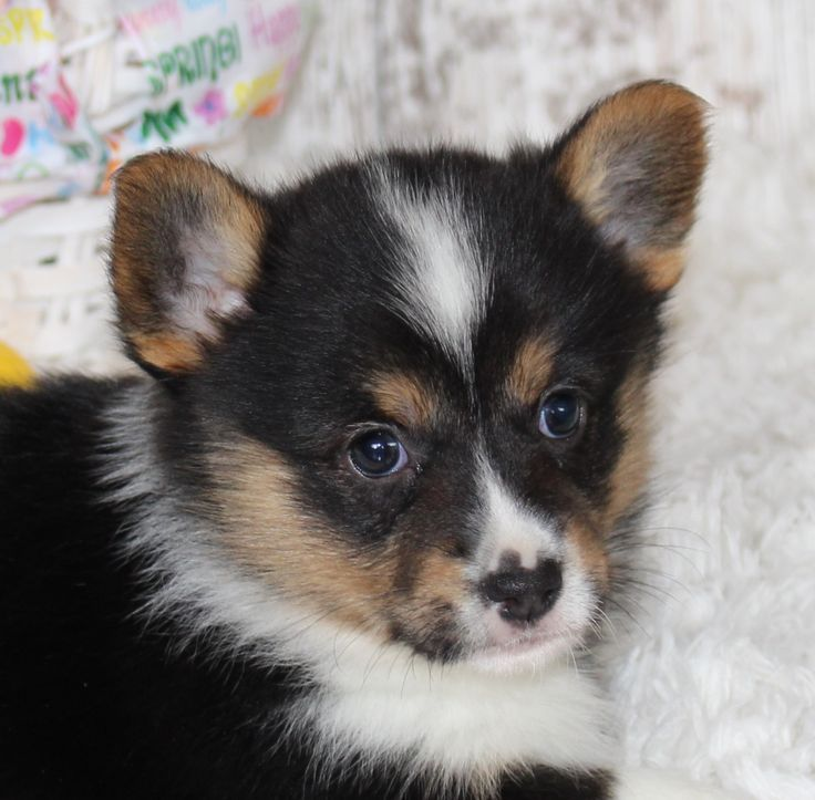 Cari female welsh puppy for sale in harlan