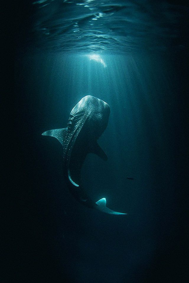 FREEIOS7 whaleshark parallax iphone wallpaper