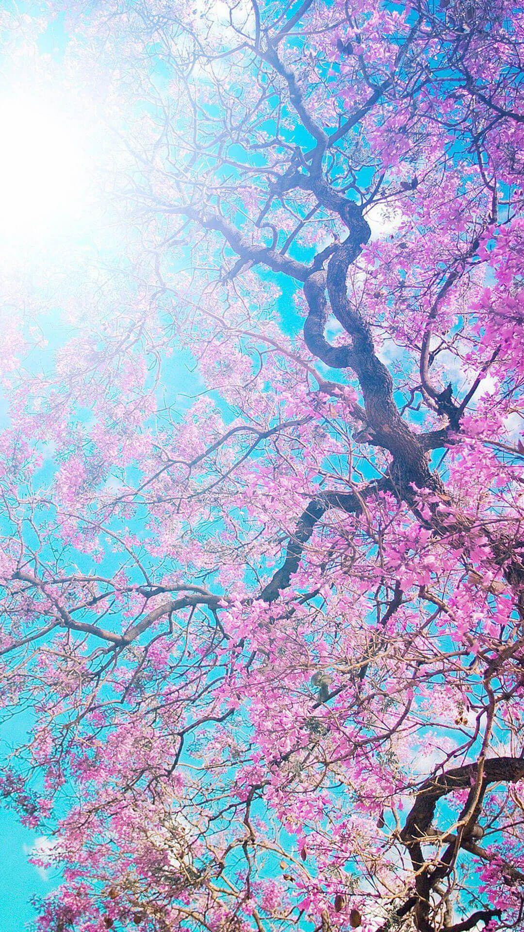 Sakura Flowers Wallpaper Iphone 6 Hd Nature Wallpapers For Iphone