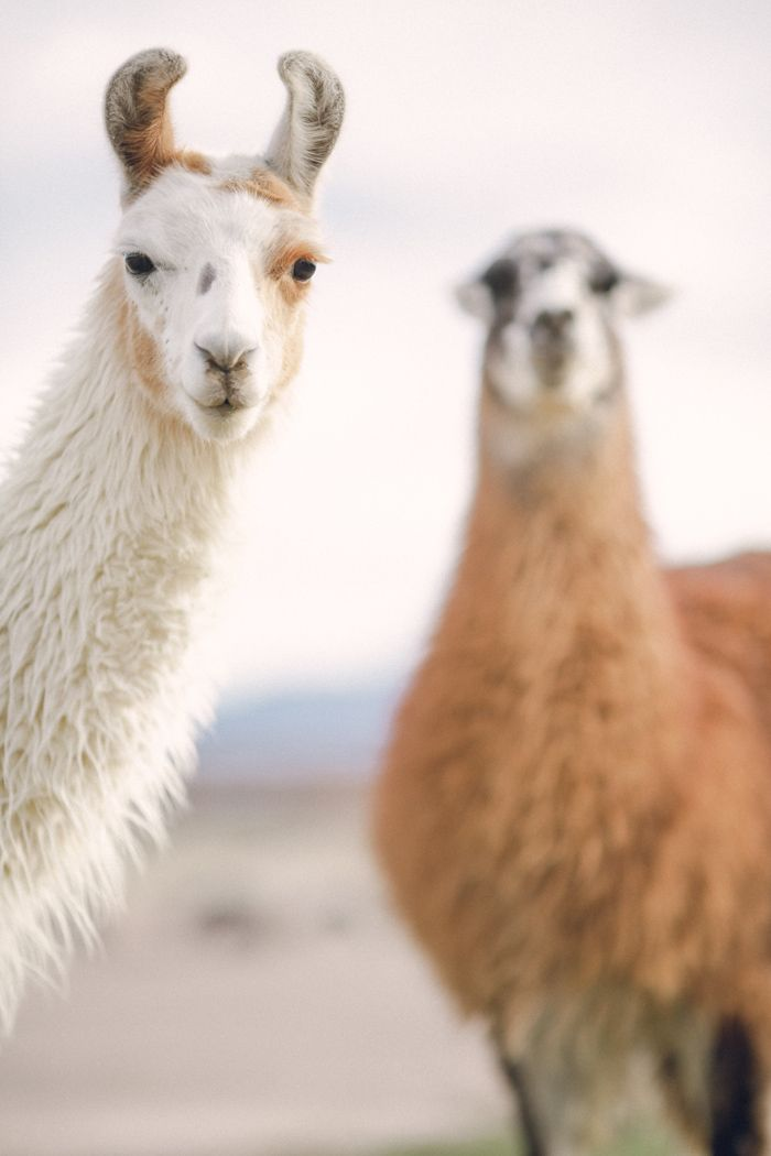 Llamas In Peru With Images Llama Peru Animals Beautiful
