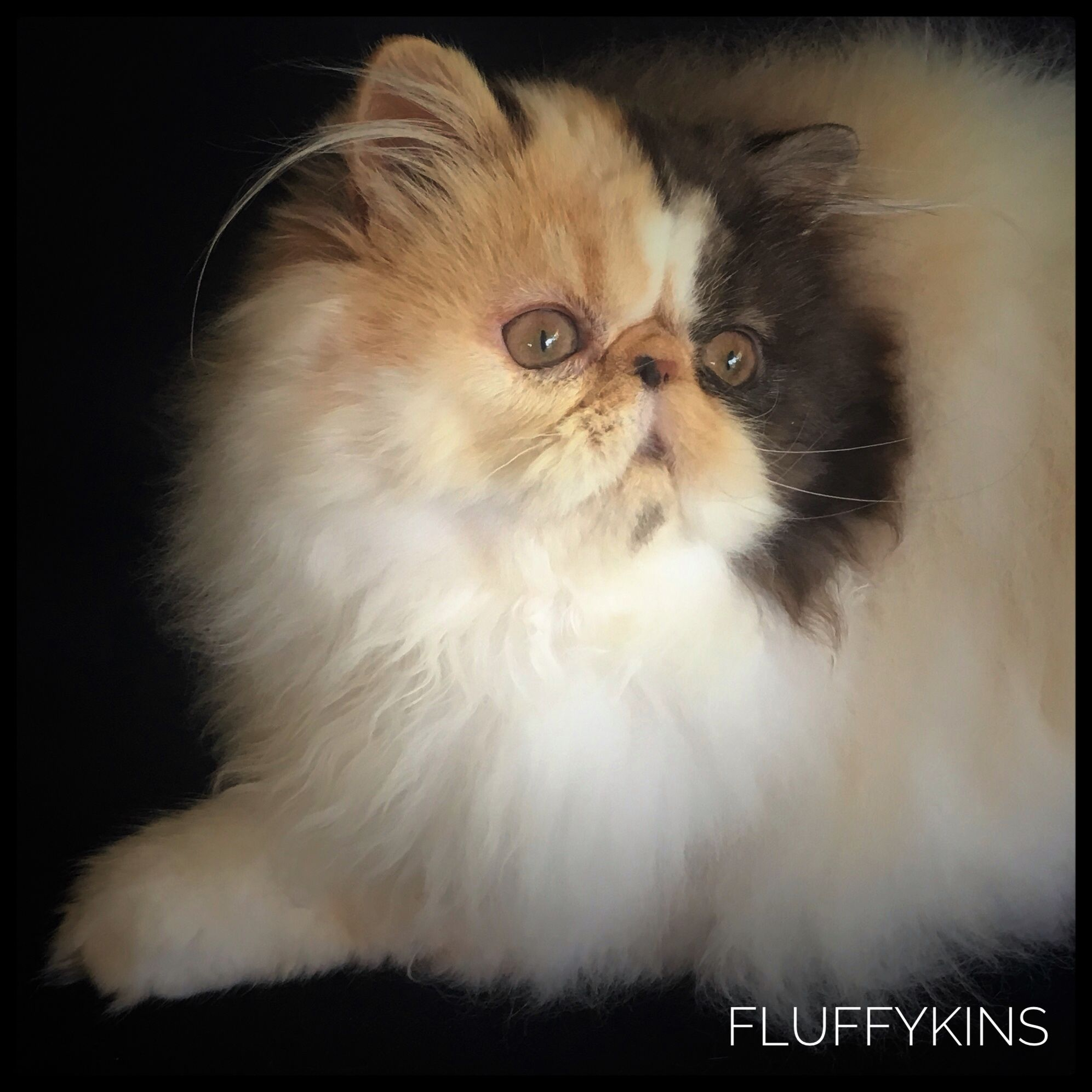 Fluffykins Twice As Nice A Rare Chocolate Tortie Smoke Bicolour Persian Or Known In The Usa As A Chocolate P Cute Cats And Kittens Persian Kittens Cute Cat Gif
