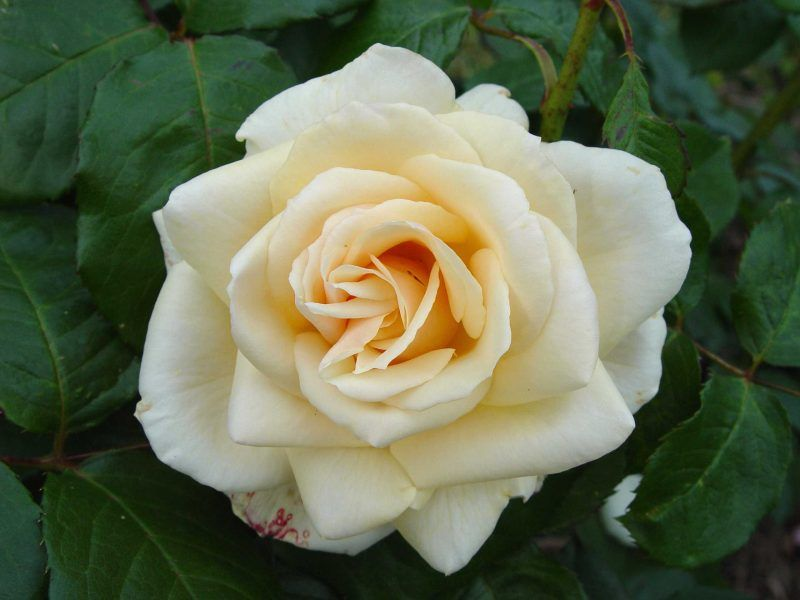 RP: 'Rustica' Pale Creamy Apricot Medium Large Floribunda Mild Fragrance Meilland Roses