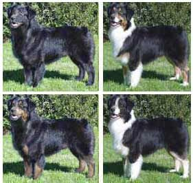 Common Black Australian Shepherd Color Patterns Australian