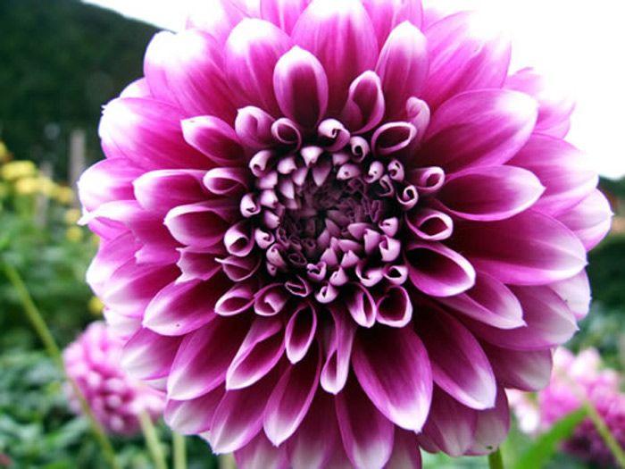 50x Purple Dahlia Flower Seeds Beauty Easy To Grow Home Garden