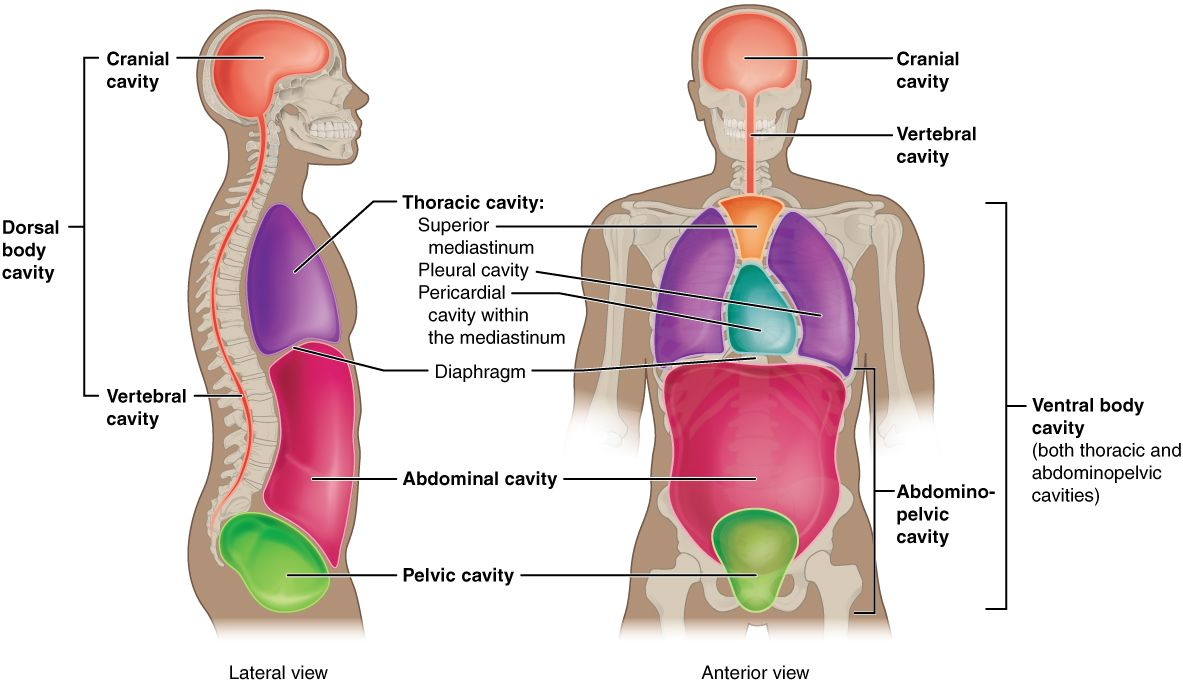 nice free page- chapter on anatomical terms, body cavities/regions ...